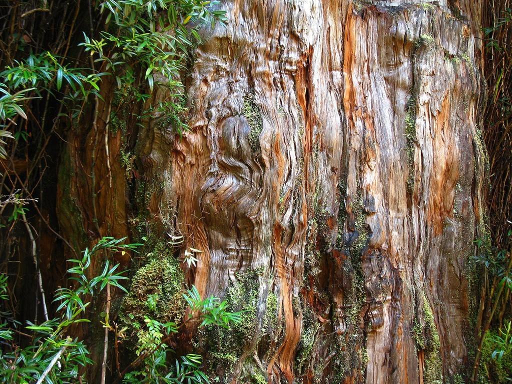 Árboles alerces de la Patagonia