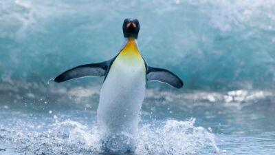 Pingüino emperador en la Antártida