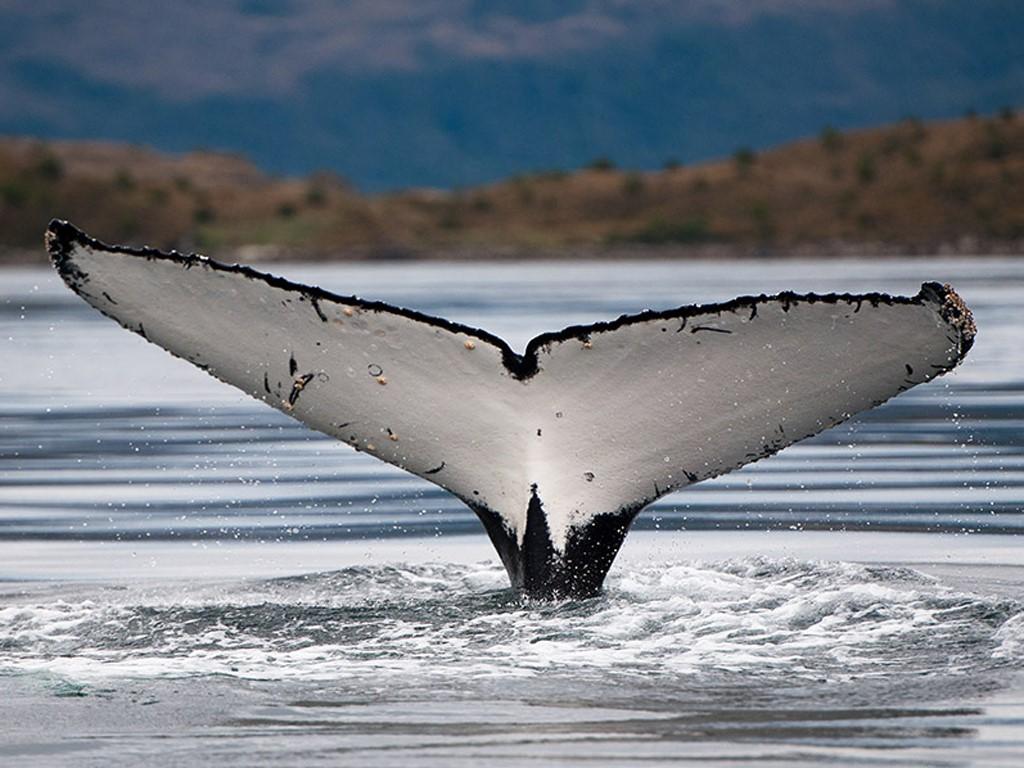Baleine à bosse sur l'Ile Carlos 3
