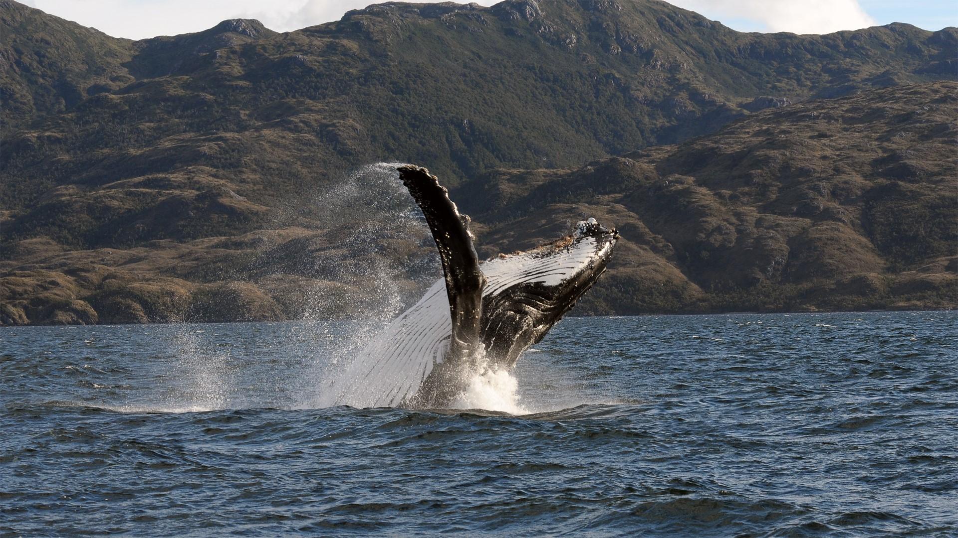 Baleine de l'Ile Carlos III au Chili