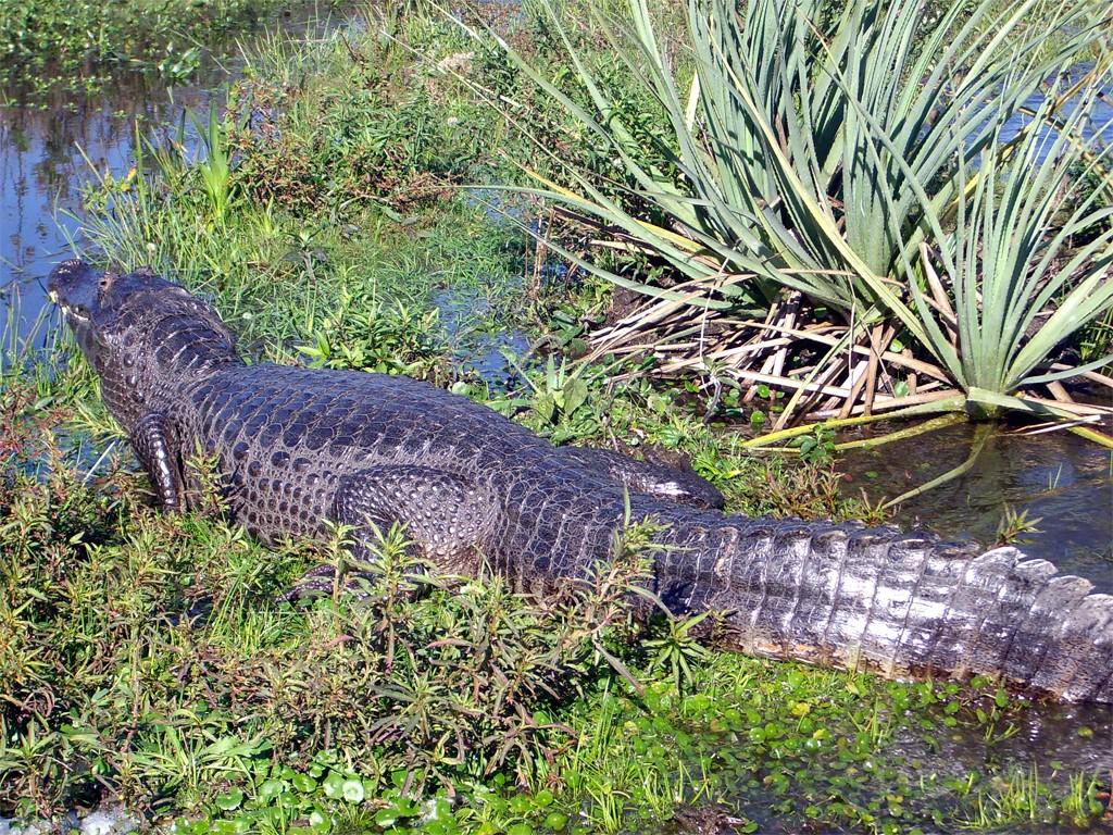 La faune des étangs de l'Ibera