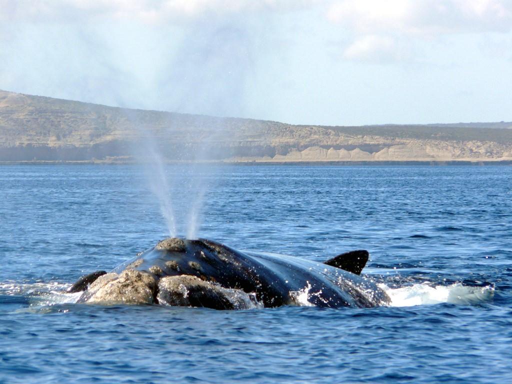 Côtoyer les baleines de Patagonie en kayak