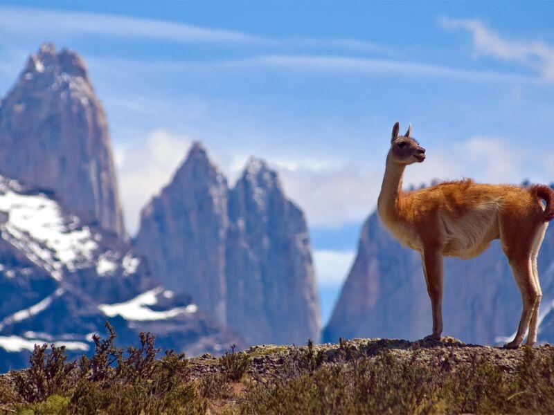 Lamas, Alpagas, Guanacos, Vigognes