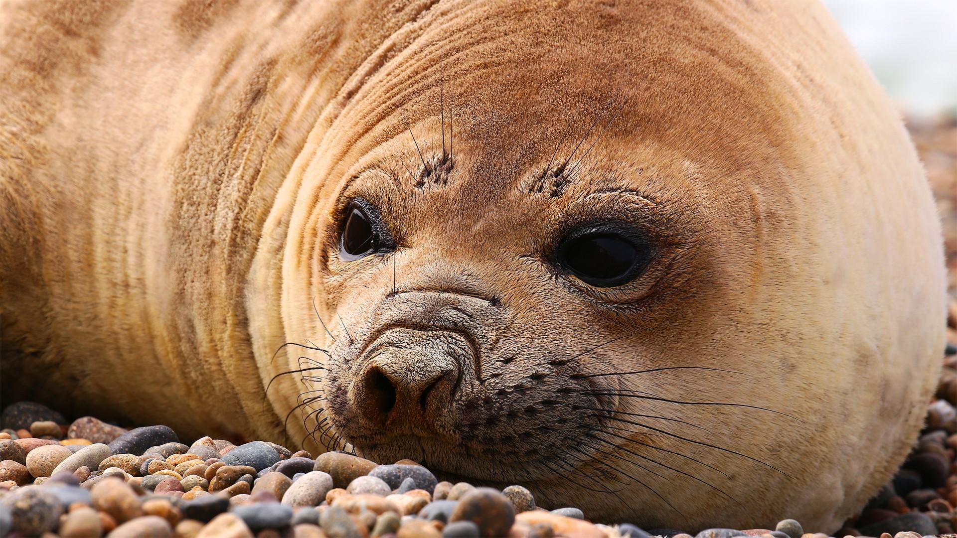 Loup de mer au Nord de la Patagonie argentine