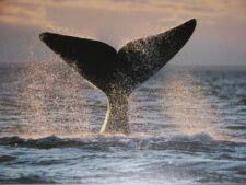 Baleine franche australe de Patagonie