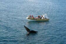 Baleines franches de Patagonie