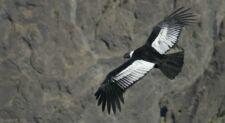 Vol du condor des Andes