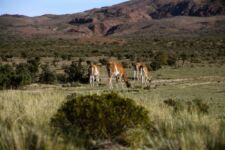 Guanacos en Patagonie