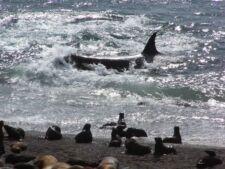 Orque Attaque en Patagonie