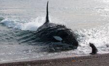 Orque en Patagonie argentine