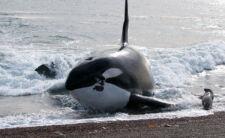 Orque Patagonie argentine