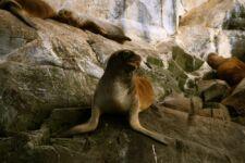Otaries, faune à Ushuaia