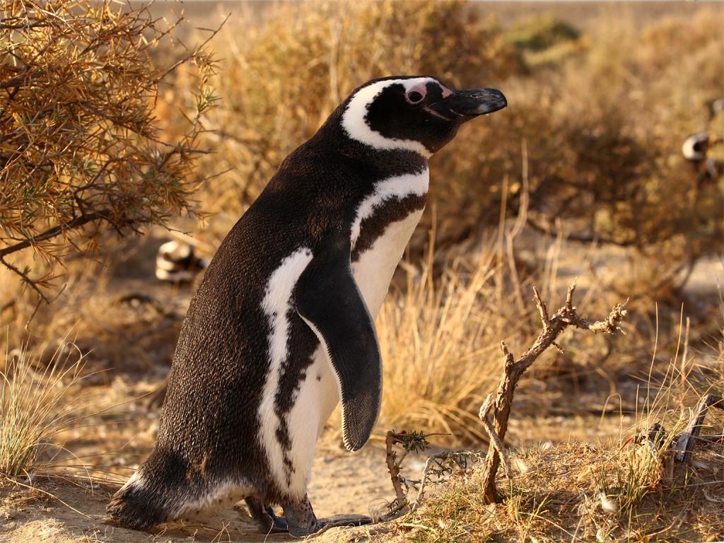 Les manchots nidifient à Punta Tombo en Patagonie argentine