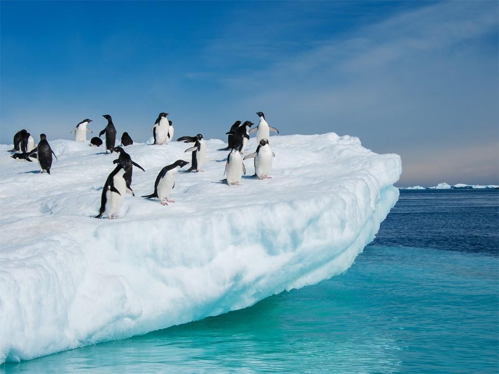 Colonie de manchots Adélie en Antarctique