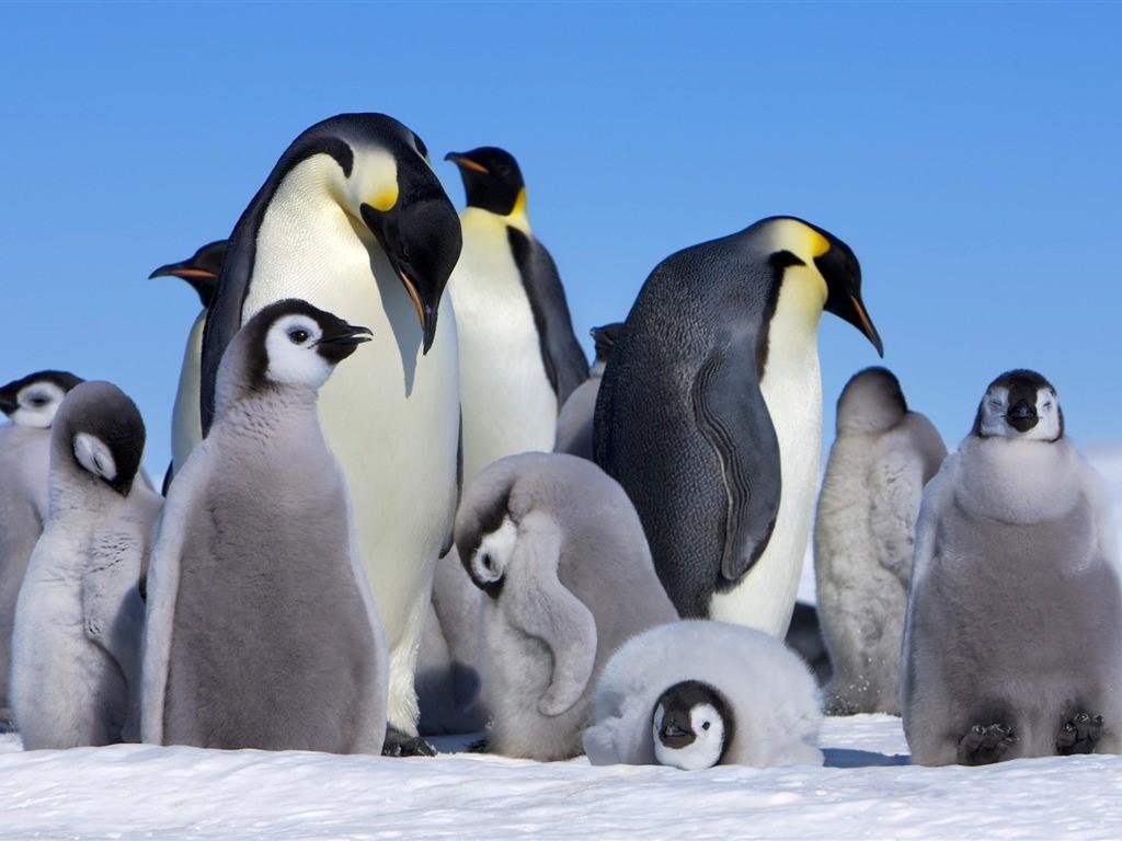 Colonie de manchots empereur en Antarctique