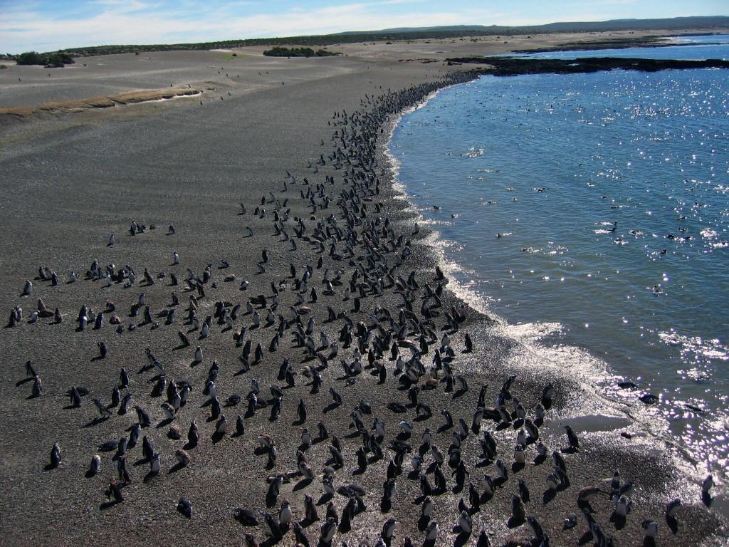 Des milliers de manchots de Magellan à Punta Tombo