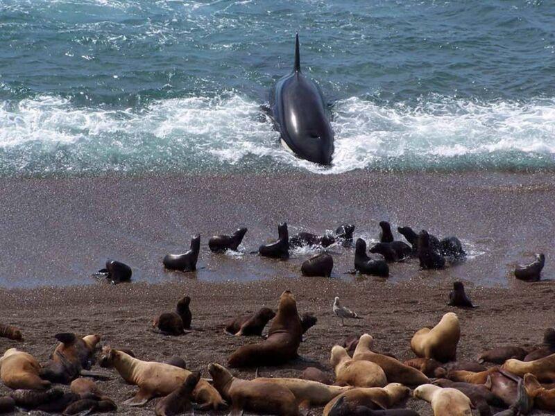 Orques attaquent en Patagonie