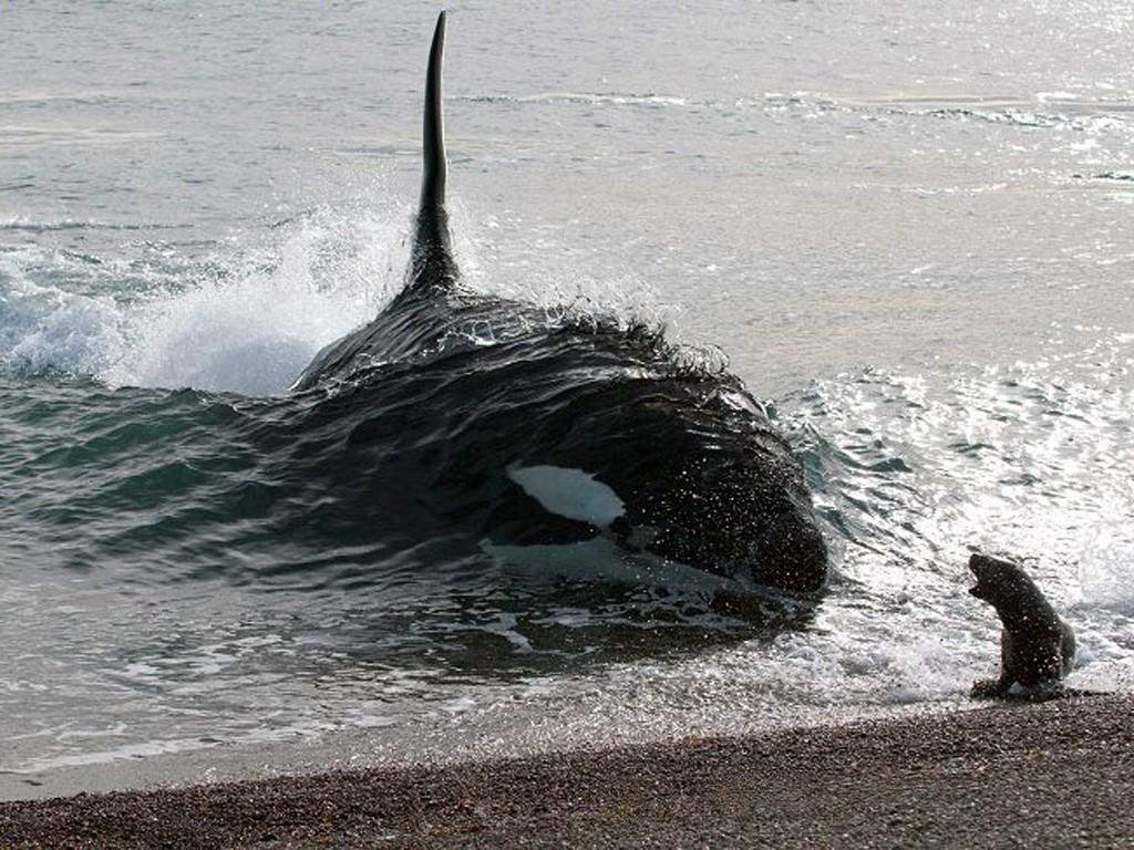 Voici une orque qui attaque les petits loups de mer sur les plages