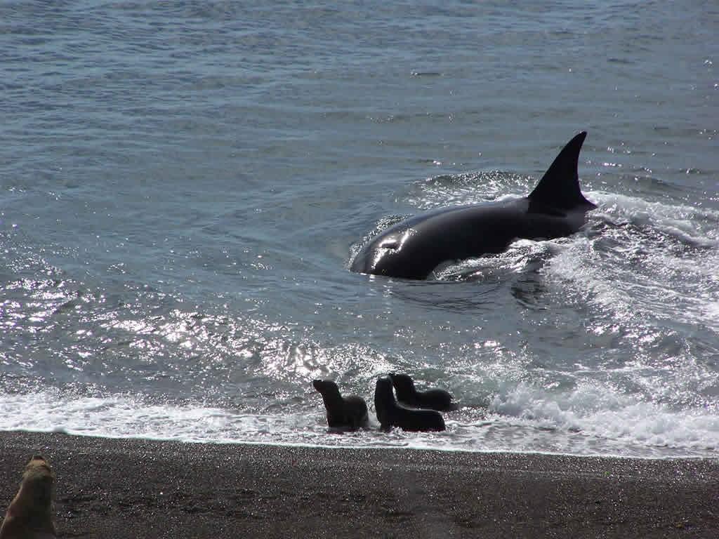 Les orques de Punta Norte à Péninsule Valdes, en Patagonie argentine