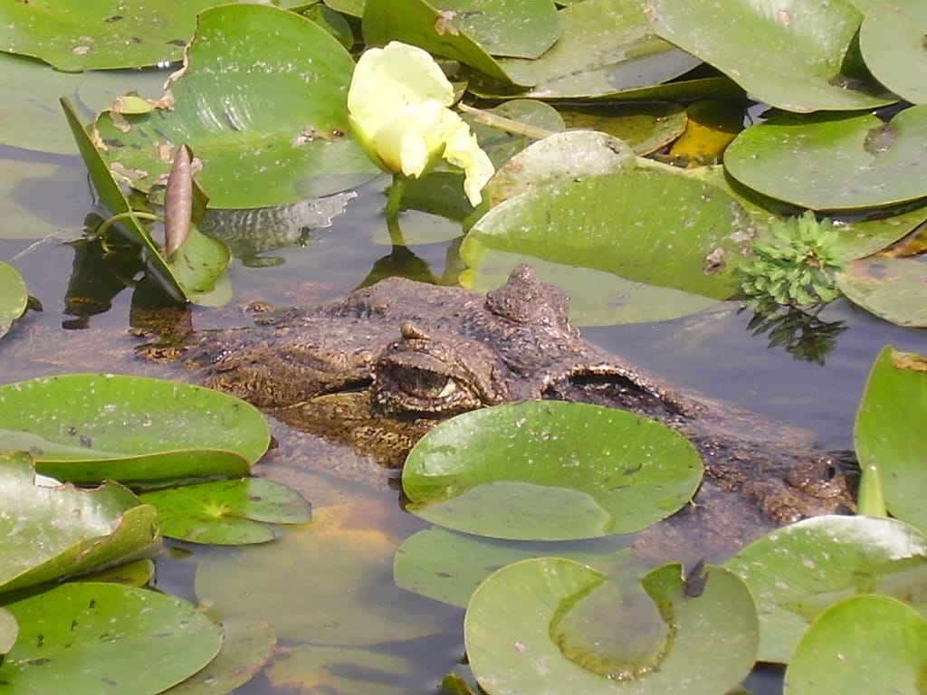 Caïman des étangs de l'Ibera en Argentine