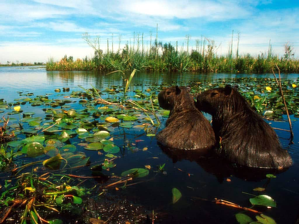 Capybaras des étangs de l'Ibera en Argentine