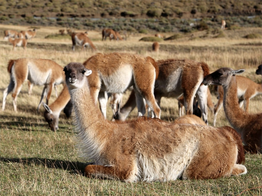 Troupeau de guanacos en Patagonie