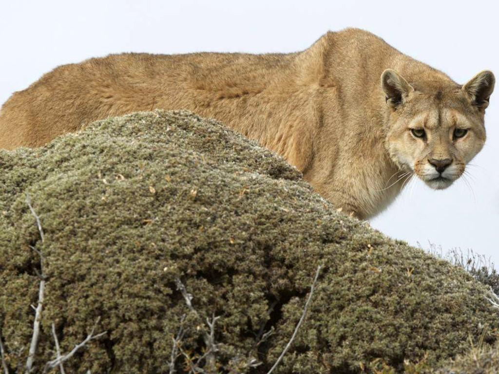 Le Puma de Patagonie en photo