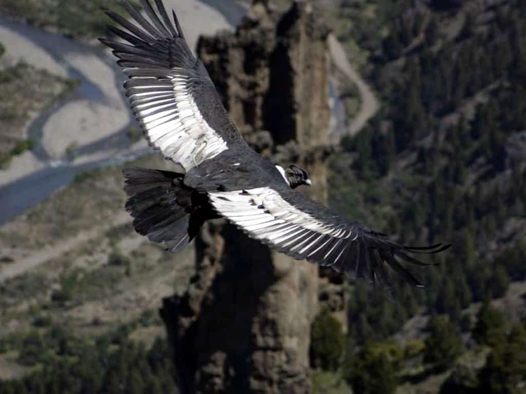 Safaris photo de condors en Patagonie
