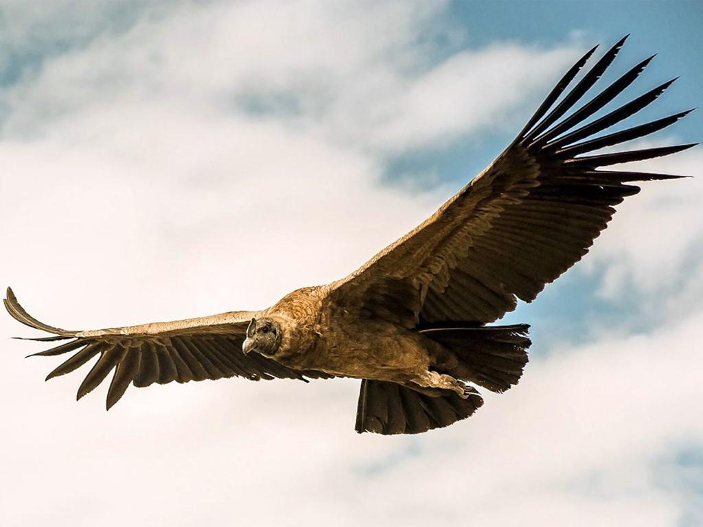 Vol de condor des Andes de Patagonie
