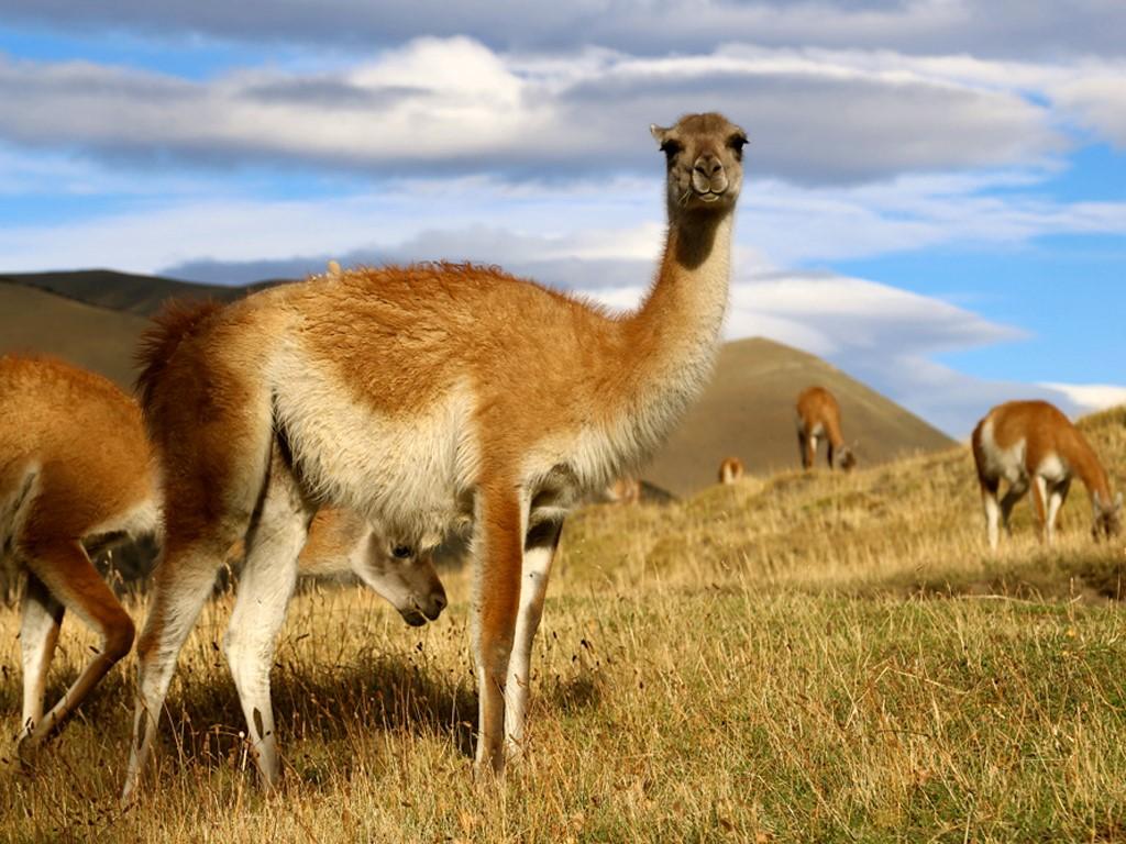 Photographier les guanacos en Patagonie