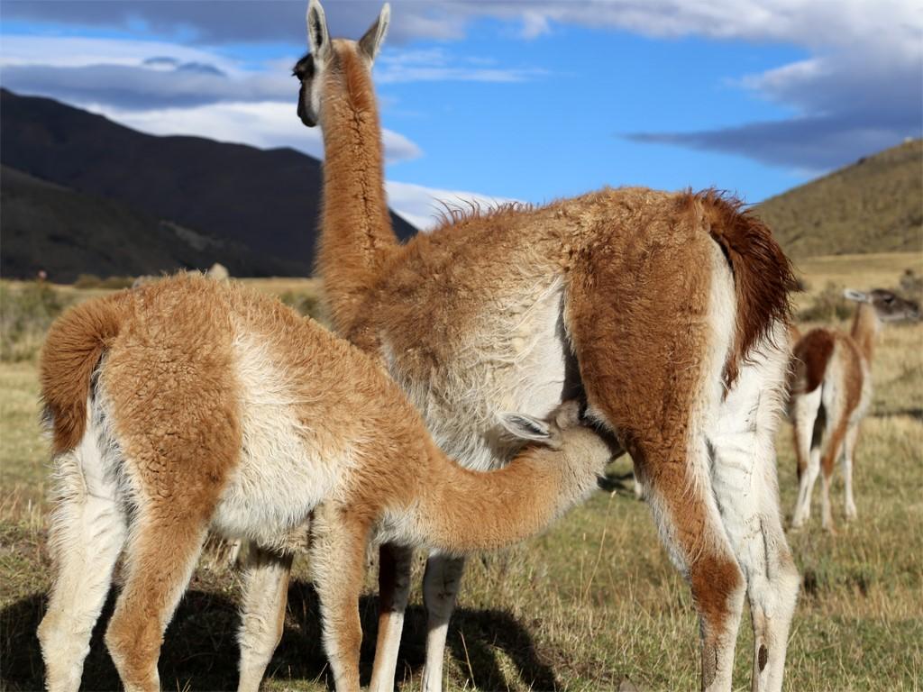 Les guanacos de Patagonie argentine et chilienne