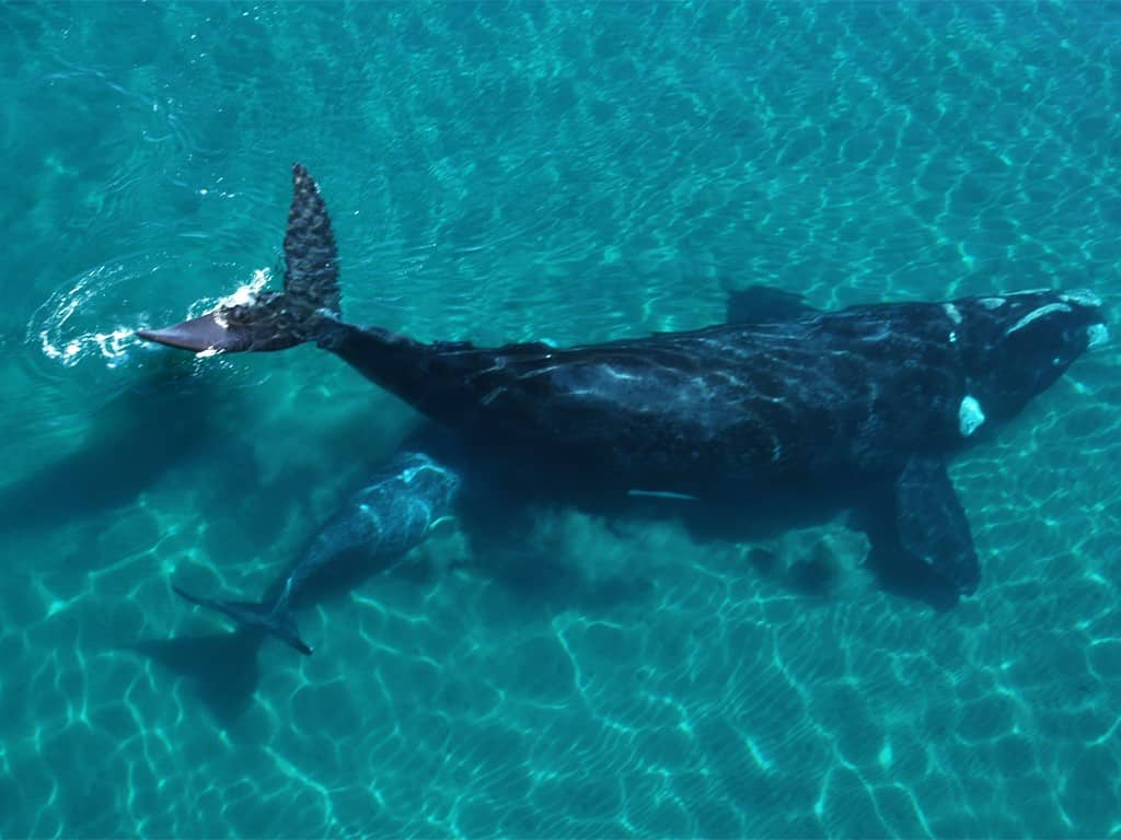 Voler au-dessus des baleines franches australes