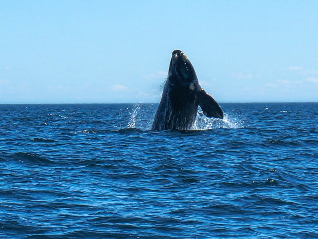 Baleines de Patagonie argentine