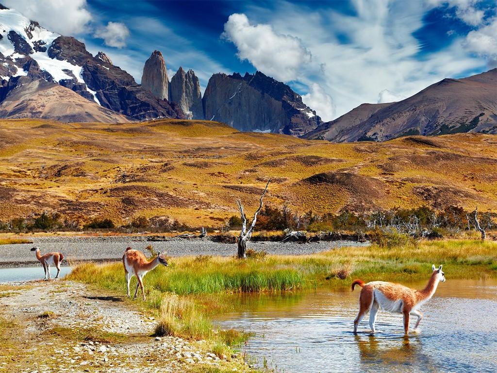 Rencontre avec les guanacos à Torres del Paine