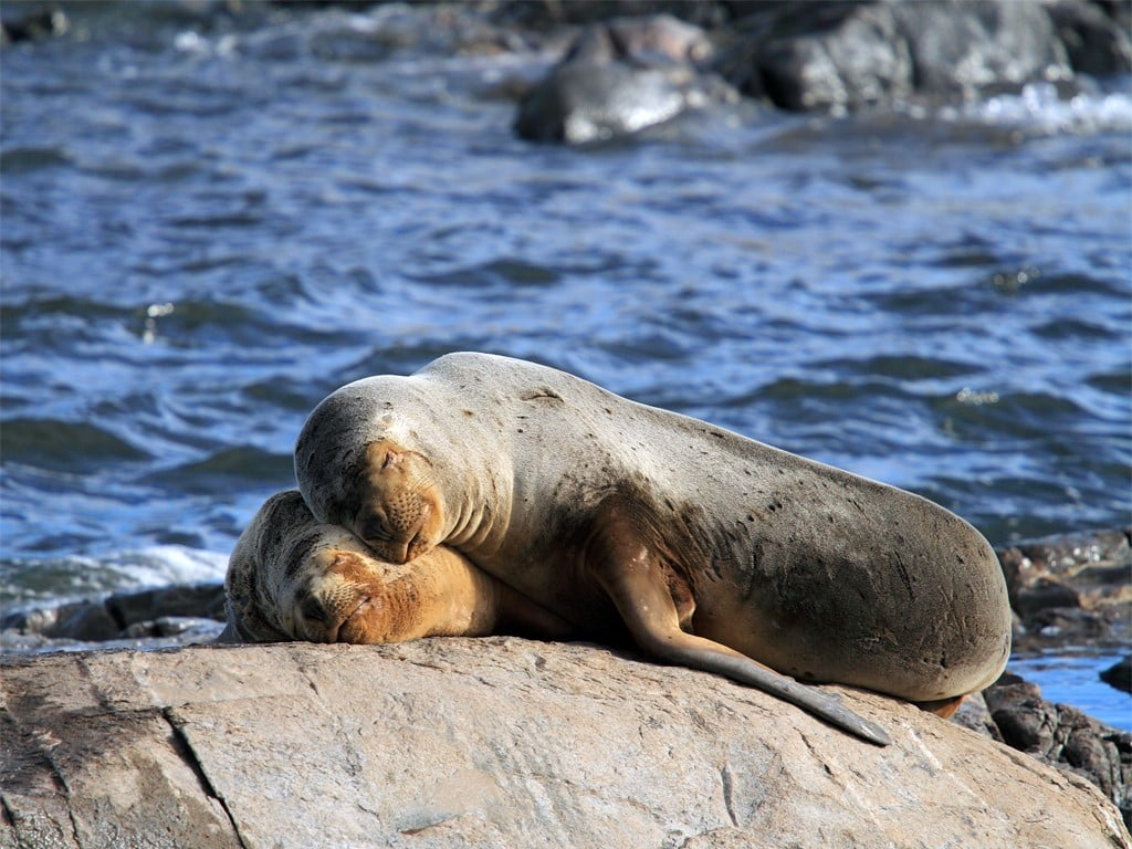 Leones marinos de Ushuaia